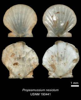 To NMNH Extant Collection (IZ MOL 190441 Propeamussium nesiotum Holotype)