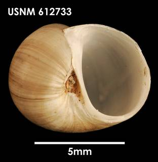 To NMNH Extant Collection (Falsilunatia delicatula (1) USNM 612733)