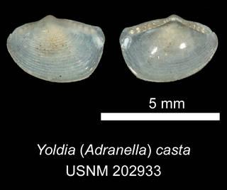 To NMNH Extant Collection (IZ MOL 202933 Yoldia (Adranella) casta Holotype)