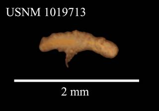 To NMNH Extant Collection (Iais elongata Siversten & Holthuis, USNM 1019713, dorsal view)
