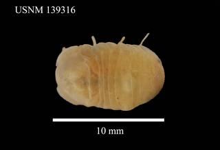 To NMNH Extant Collection (Sphaeroma serratum, USNM 139316, dorsal)