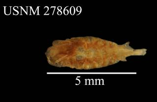 To NMNH Extant Collection (Paraeuchaeta gracilis, USNM 278609, dorsal)