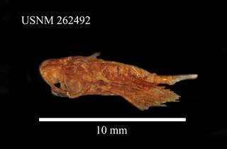 To NMNH Extant Collection (Megacalanus princeps, USNM 262492, lateral)