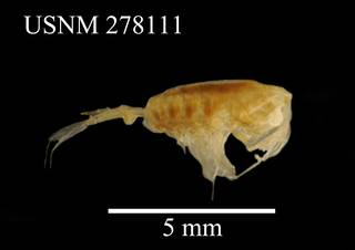 To NMNH Extant Collection (Paraeuchaeta tonsa, USNM 278771, lateral)