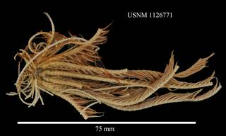 To NMNH Extant Collection (Florometra magellanica, USNM 1126771, lateral)