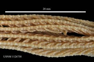 To NMNH Extant Collection (Isometra graminea , USNM 1126758, arms)