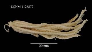 To NMNH Extant Collection (Isometra vivipara Mortensen, USNM 1126877, lateral)