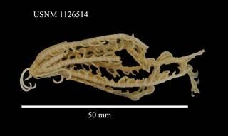 To NMNH Extant Collection (Notocrinus mortenseni John, USNM 1126514)