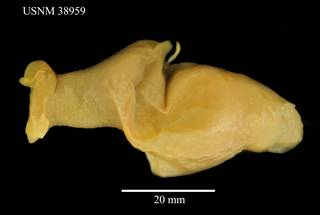 To NMNH Extant Collection (Pseudoikedella achaeta, USNM 83959, dorsal)