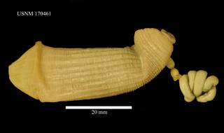 To NMNH Extant Collection (Sipunculus norvegicus, USNM 170461, dorsal)