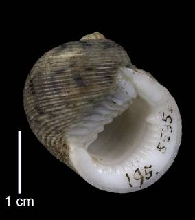 To NMNH Extant Collection (IZ MOL 5595 Nerita crassa Holotype Shell Apertural View)
