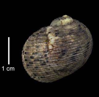 To NMNH Extant Collection (IZ MOL 5595 Nerita crassa Holotype Shell Dorsal View)