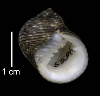 To NMNH Extant Collection (IZ MOL 5596 Nerita undata Shell Apertural View)