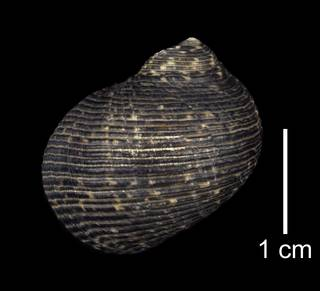 To NMNH Extant Collection (IZ MOL 5596 Nerita undata Shell Dorsal View)