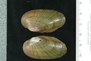 To NMNH Extant Collection (IZ MOL 86035 Unio iris Syntype b)