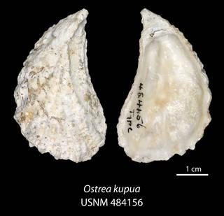 To NMNH Extant Collection (IZ MOL 484156 Ostrea kupua Holotype)
