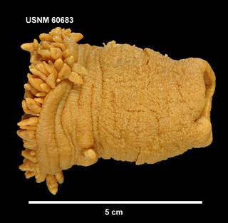 To NMNH Extant Collection (60683 [COE] Glyphoperidium bursa, lateral)