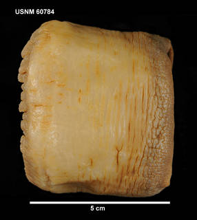 To NMNH Extant Collection (60784 [COE] Sicyonis erythrocephala, lateral)
