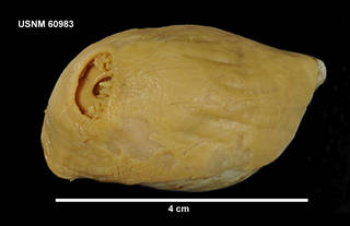 To NMNH Extant Collection (60983 [COE] Isosicyonis alba, dorsal)