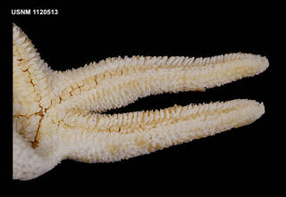 To NMNH Extant Collection (1120513 [IZ] Henricia parva, ventral close)