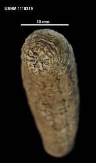 To NMNH Extant Collection (1110219 [IZ] Halcampella sp., posterior)