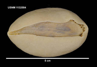 To NMNH Extant Collection (1132584 [IZ] Psolus dubiosus, ventral)