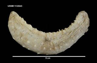 To NMNH Extant Collection (1132643 [IZ] Bathyplotes bongraini, dorsal)
