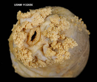 To NMNH Extant Collection (1132656 [IZ] Staurocucumis liouvillei, anterior 2)