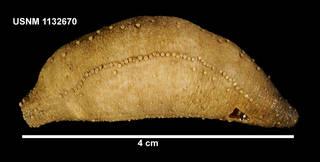 To NMNH Extant Collection (1132670 [IZ] Cucamba psolidiformis)