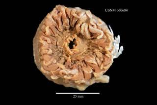 To NMNH Extant Collection (Corallimorphus profundus, USNM 060684)