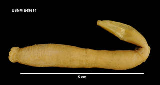 To NMNH Extant Collection (E49614 [ECH] Paradota weddellensis, lateral)