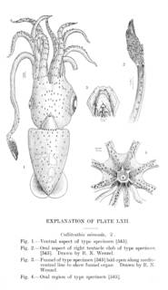 To NMNH Extant Collection (Calliteuthis miranda, plate 62)