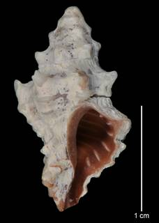 To NMNH Extant Collection (IZ MOL 711111 Holotype Shell)