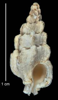 To NMNH Extant Collection (IZ MOL 663525 Holotype Shell)