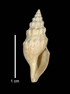 To NMNH Extant Collection (IZ MOL 596209 Holotype Shell apertural view)