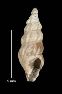 To NMNH Extant Collection (IZ MOL 38421 Holotype Shell apertural view)