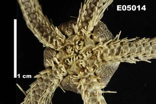To NMNH Extant Collection (Ophiacantha bidentata USNM E5014 - ventral close)
