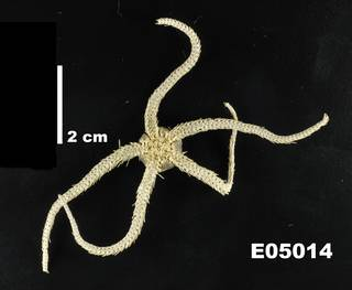 To NMNH Extant Collection (Ophiacantha bidentata USNM E5014 - ventral)