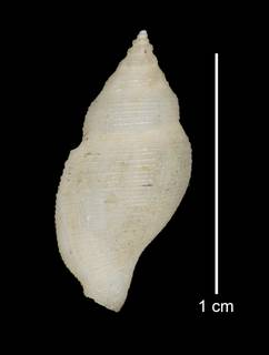 To NMNH Extant Collection (IZ MOL 749851 Holotype Shell dorsal view)