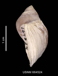 To NMNH Extant Collection (Trophon nucelliformis shell lateral view)