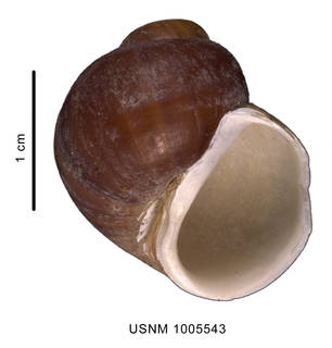 To NMNH Extant Collection (Amauropsis aureolutea (Strebel 1908) shell, ventral view)