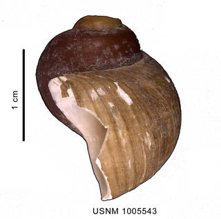 To NMNH Extant Collection (Amauropsis aureolutea (Strebel 1908) shell, lateral view)