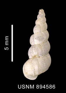To NMNH Extant Collection (Acirsa cf. antarctica (Smith, 1907), dorsal view of shell)