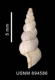 To NMNH Extant Collection (Acirsa cf. antarctica (Smith, 1907), lateral view of shell)