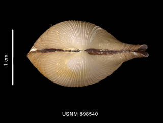 To NMNH Extant Collection (Cardiomya sp. Apical view of the shell)