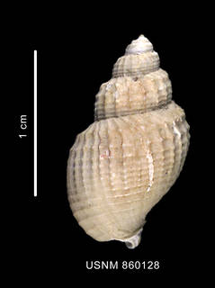 To NMNH Extant Collection (Chlalnidota bisculptum Dell, 1990), holotype, shell, dorsal view)