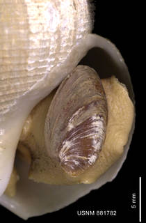 To NMNH Extant Collection (Chlanidota (Pfefferia) invenusta Harasewych et Kantor, 1999, holotype shell close up aperture)