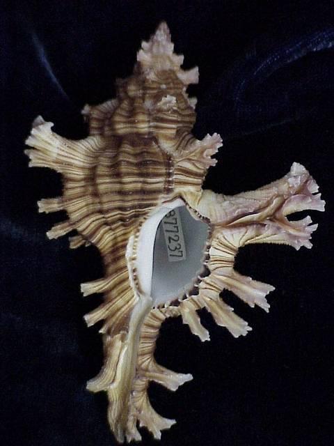Chicoreus palmarosae Lamarck, 1822, Muricidae: Gastropoda: Mollusca, National Museum of Natural Hist