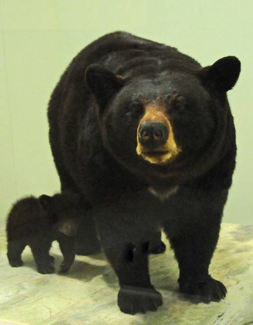 Image: a bear and cub, prepared by taxidermy, in natural positions.